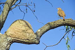 Rufous hornero or rufous ovenbird, a famous Brazilian bird Stock Images