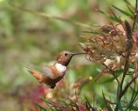 Rufous Humminbird auf Grevillea Lizenzfreie Stockfotos