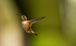 Rufous Humming Bird. Female rufous humming bird in flight Royalty Free Stock Photos