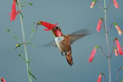Rufous Hummingbird. Male feeding on flower Royalty Free Stock Image