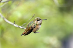 Rufous Hummingbird. Sits on a branch as it looks for its next meal Royalty Free Stock Images