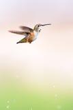 Rufous Hummingbird Стоковое фото RF