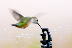 Rufous Hummingbird Royalty Free Stock Photos