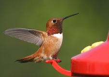 Rufous Hummingbird. A male Rufous Hummingbird visiting a feeder Royalty Free Stock Photos