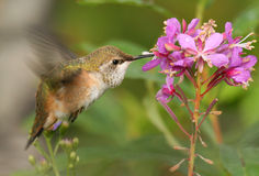 Rufous Hummingbird. A female Rufous Hummer tanking up at a fireweed, preparing for migration Royalty Free Stock Photos