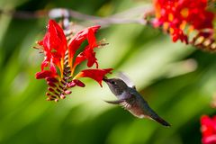 Rufous Hummingbird Stock Photos