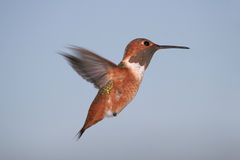 Rufous Hummingbird. A male Rufous Hummingbird hovering in a blue sky Royalty Free Stock Photography