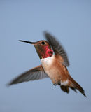 Rufous Hummingbird. A male Rufous Hummingbird hovers in a blue sky Royalty Free Stock Photography