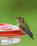 Rufous hummingbird. Female rufous hummingbird perched on red feeder royalty free stock images