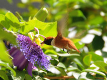 Rufous hummingbird. (Selasphorus rufus) adult male Royalty Free Stock Images