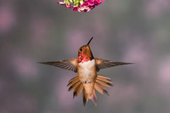 Rufous Hummingbird. Male Rufous Hummingbird in Flight Royalty Free Stock Photography