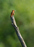 Rufous Hummingbird - Selasphorus rufus. A colourful male Rufous Hummingbird perched high on a tree stump protecting his territory in spring Stock Photos