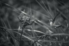Rufous Hummingbird and Crocosmia flowers with black and white backgrounds stock photos