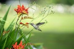 Rufous Hummingbird and Crocosmia flowers stock photos