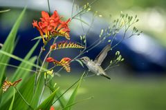 Rufous Hummingbird and Crocosmia flowers royalty free stock photo