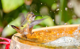 Rufous Hummingbird dancing in the bird bath Stock Photography