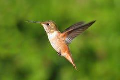 Rufous Hummingbird (den Selasphorus rufusen) Royaltyfria Bilder