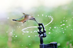 Rufous Hummingbird Drinks from Sprinkler Stock Photography