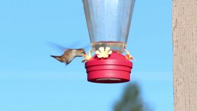 Rufous Hummingbird eating at feeder. Rufous Hummingbird flying to red feeder and eating stock video footage