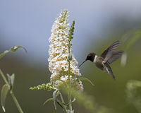 Rufous Hummingbird Stock Images