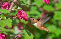 Rufous Hummingbird feeding Flowering Currant. Rufous Hummingbird in flight, feeding Flowering Currant Stock Photography