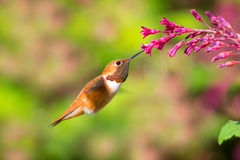 Rufous Hummingbird feeding on Flowering Currant. Rufous Hummingbird in flight, feeding on Flowering Currant Royalty Free Stock Photo