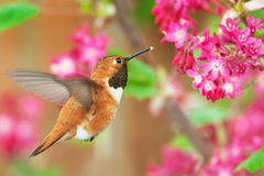 Rufous Hummingbird feeding on Flowering Currant. Rufous Hummingbird in flight, feeding on Flowering Currant Stock Photography