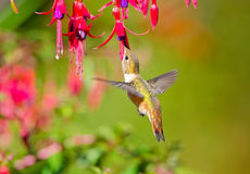 Rufous Hummingbird feeding on Hardy Fuchsia Flower. Rufous Hummingbird in flight feeding on Hardy Fuchsia Flowers Stock Photography