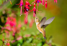 Rufous Hummingbird feeding on Hardy Fuchsia Flower Stock Photo