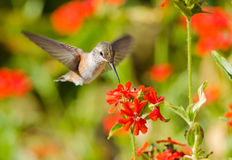Rufous Hummingbird feeding on Maltese Cross flower. Rufous Hummingbird in flight, feeding on Maltese Cross flowers Royalty Free Stock Images
