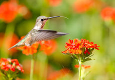 Rufous Hummingbird feeding on Maltese Cross flower. Rufous Hummingbird in flight, feeding on Maltese Cross flowers Stock Photo