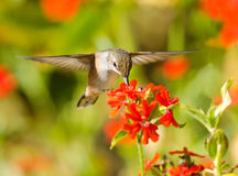 Rufous Hummingbird feeding on Maltese Cross flower. Rufous Hummingbird in flight, feeding on Maltese Cross flowers Stock Image