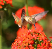 Rufous Hummingbird feeding on Maltese Cross flowers. A single Rufous Hummingbird feeding on red Maltese Cross flowers Royalty Free Stock Photography