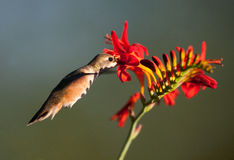 Rufous Hummingbird feeding Stock Image