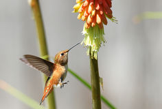 Rufous Hummingbird feeding on Red Hot Poker Flower, British Columbia, Canada Stock Photography