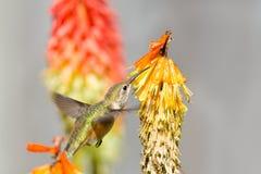 Rufous Hummingbird feeding on Red Hot Poker Flower, Canada Royalty Free Stock Photo