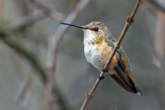 Rufous Hummingbird Female. Female Rufous Hummingbird sitting on branch Royalty Free Stock Images