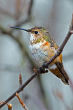 Rufous Hummingbird Female. Female Rufous Hummingbird sitting on branch Stock Image