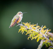 Rufous Hummingbird (Female). Stock Photos