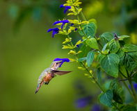 Rufous Hummingbird (Female). Royalty Free Stock Images