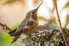 Rufous Hummingbird Fletchling. A young rufous hummingbird fletchling on the brim of the tiny nest constructed of mainly lichen royalty free stock images