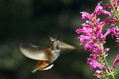 Rufous hummingbird in flight. Next to flowers Stock Images