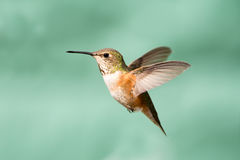 Rufous Hummingbird in Flight, Female. With green background Royalty Free Stock Images