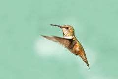 Rufous Hummingbird in Flight, Female Royalty Free Stock Photography