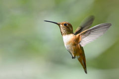 Rufous Hummingbird in Flight. On green background Stock Images
