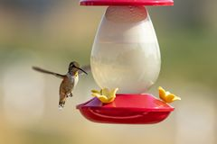 A Rufous Hummingbird hovers over a feeder Stock Images