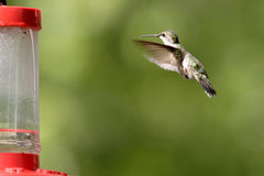 A rufous hummingbird hovers toward the feeder. Stock Image