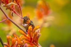 Rufous Hummingbird in Kangaroo Paw Royalty Free Stock Images