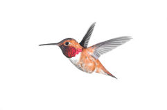 Rufous Hummingbird - Male Stock Photos