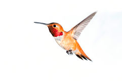 Rufous Hummingbird - Male. Male Rufous Hummingbird in flight with white background Royalty Free Stock Images